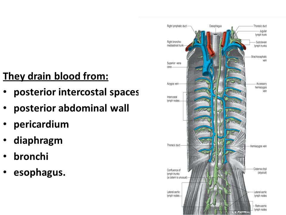 They drain blood from: posterior intercostal spaces. posterior abdominal wall. pericardium. diaphragm.