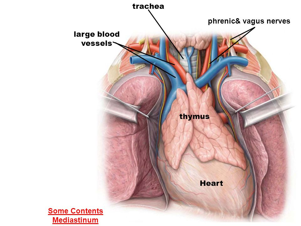 trachea phrenic& vagus nerves large blood vessels thymus Heart Some Contents Mediastinum