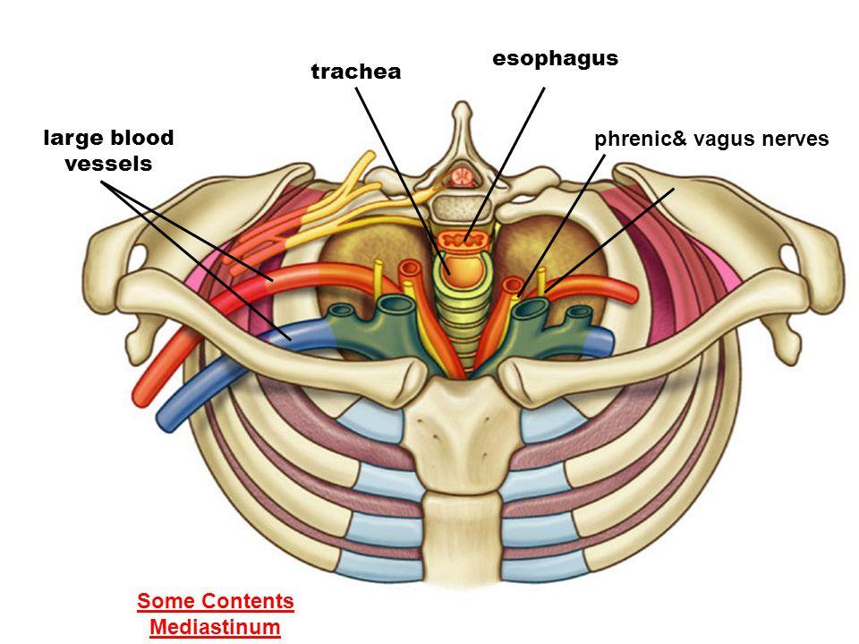 esophagus trachea large blood vessels phrenic& vagus nerves Some Contents Mediastinum