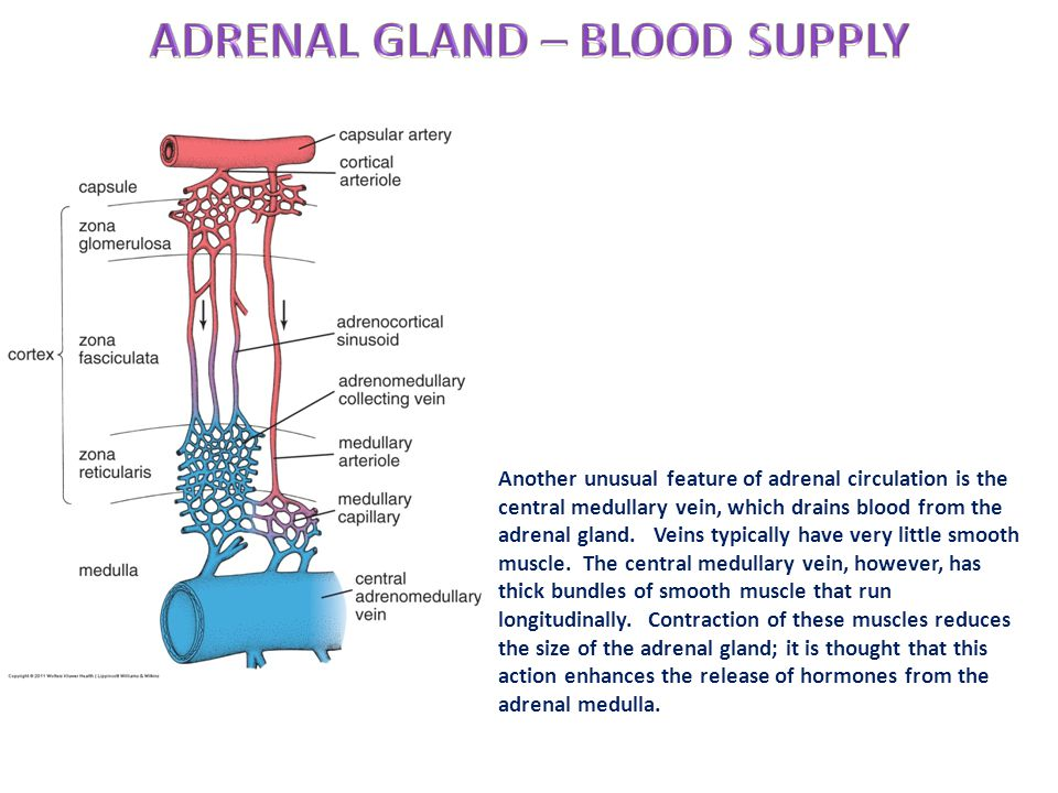 ADRENAL GLAND – BLOOD SUPPLY