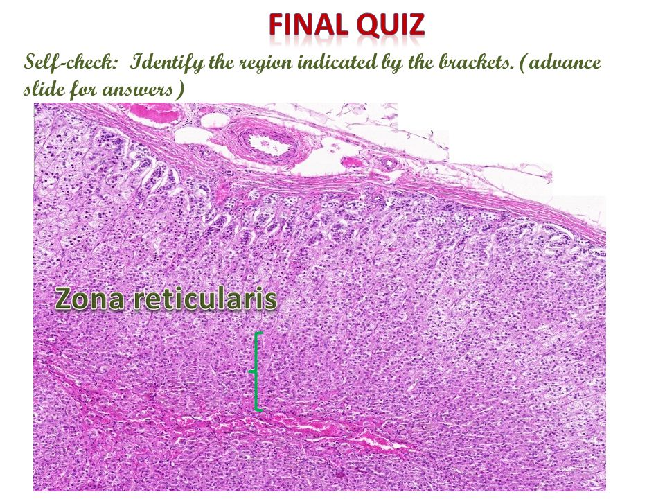 adrenal gland digital laboratory - ppt video online download, Human Body