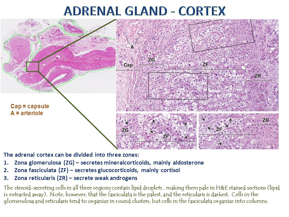 ADRENAL GLAND - CORTEX Cap = capsule. A = arteriole. The adrenal cortex can be divided into three zones:
