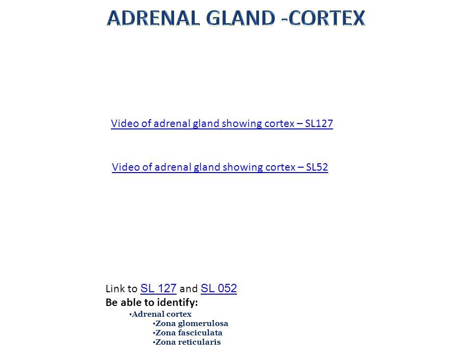ADRENAL GLAND -CORTEX Video of adrenal gland showing cortex – SL127