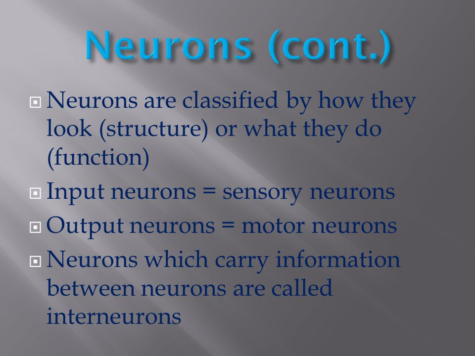 Neurons (cont.) Neurons are classified by how they look (structure) or what they do (function) Input neurons = sensory neurons.