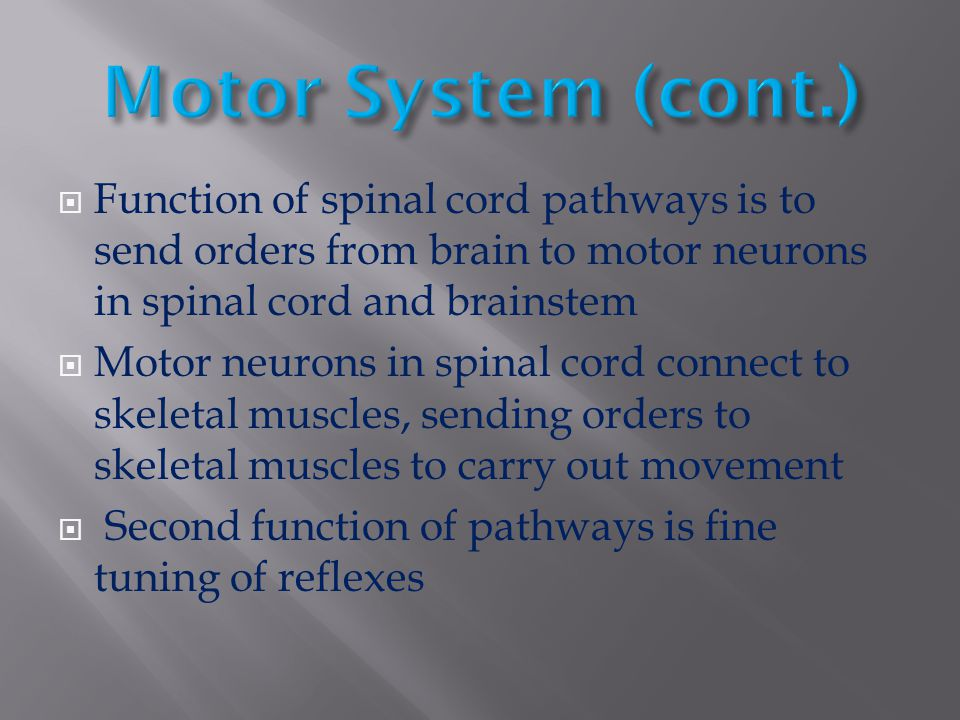 Motor System (cont.) Function of spinal cord pathways is to send orders from brain to motor neurons in spinal cord and brainstem.