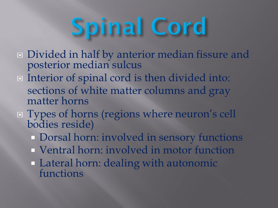 Spinal Cord Divided in half by anterior median fissure and posterior median sulcus. Interior of spinal cord is then divided into: