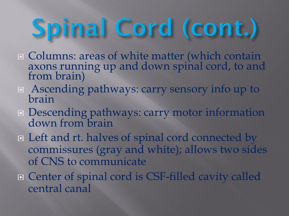 Spinal Cord (cont.) Columns: areas of white matter (which contain axons running up and down spinal cord, to and from brain)