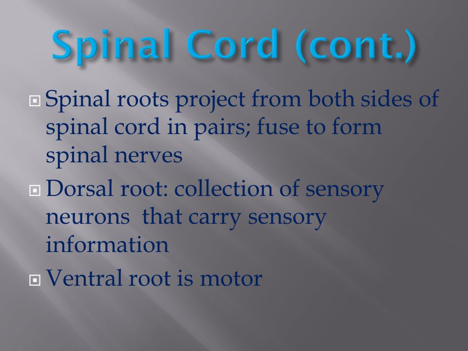Spinal Cord (cont.) Spinal roots project from both sides of spinal cord in pairs; fuse to form spinal nerves.