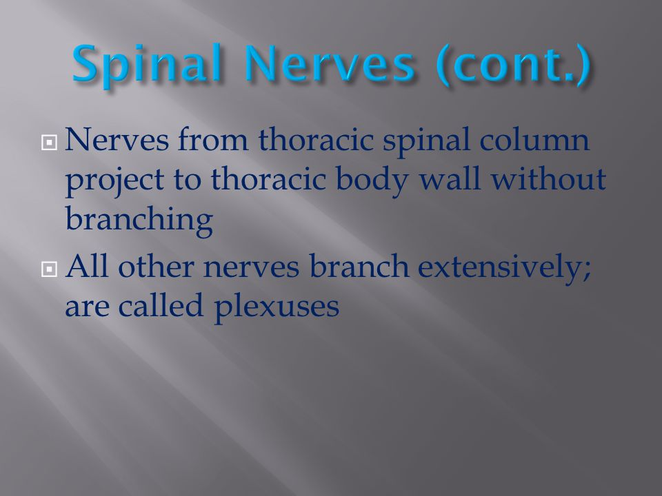 Spinal Nerves (cont.) Nerves from thoracic spinal column project to thoracic body wall without branching.