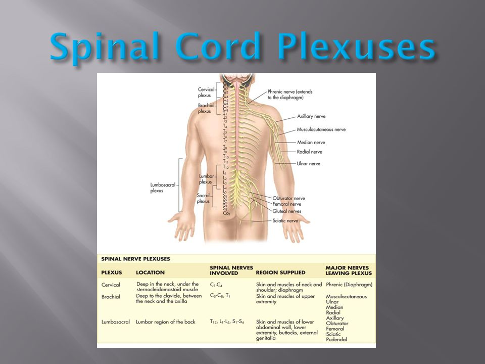 Spinal Cord Plexuses