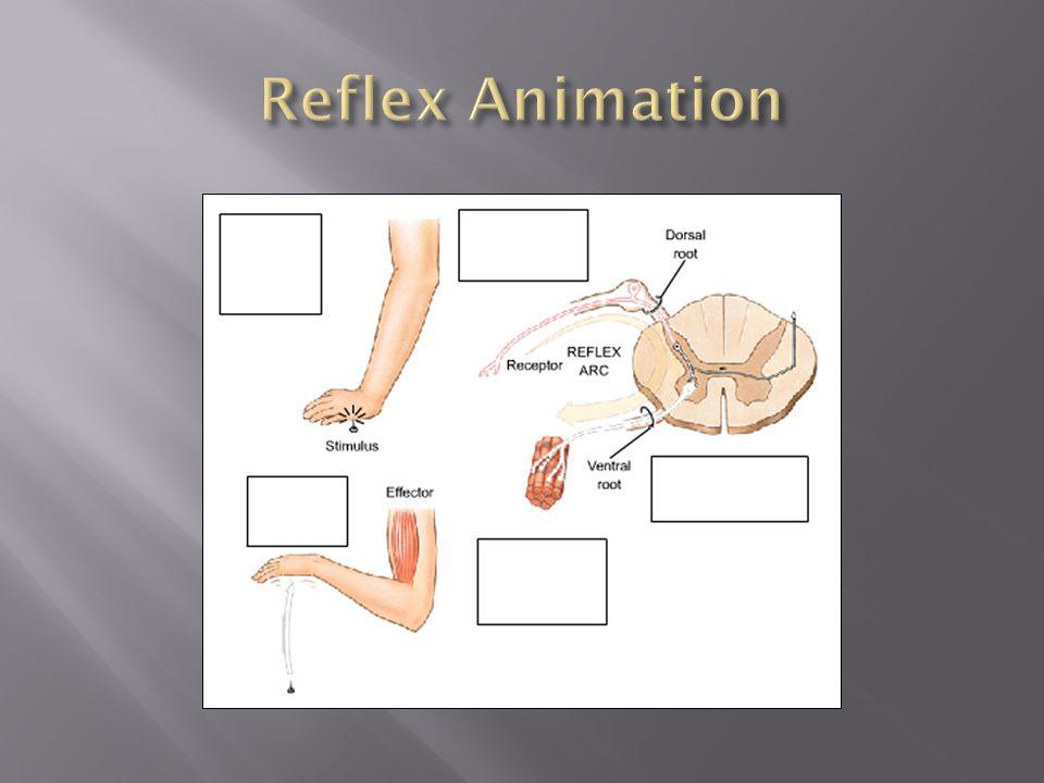 Reflex Animation