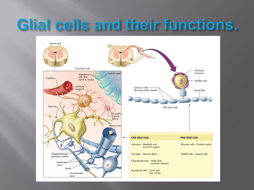 Glial cells and their functions.