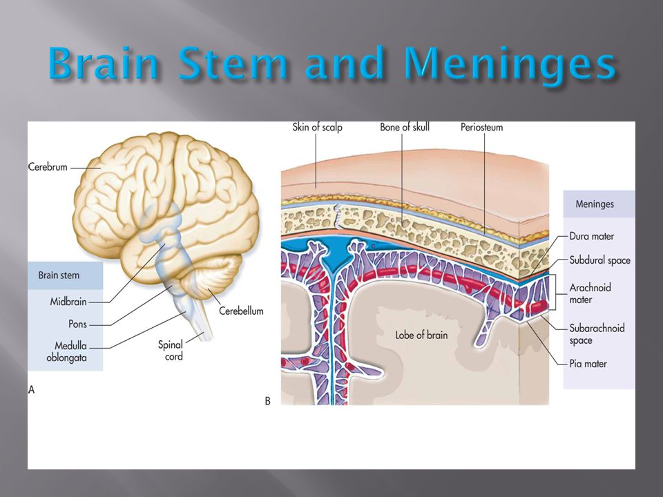 Brain Stem and Meninges