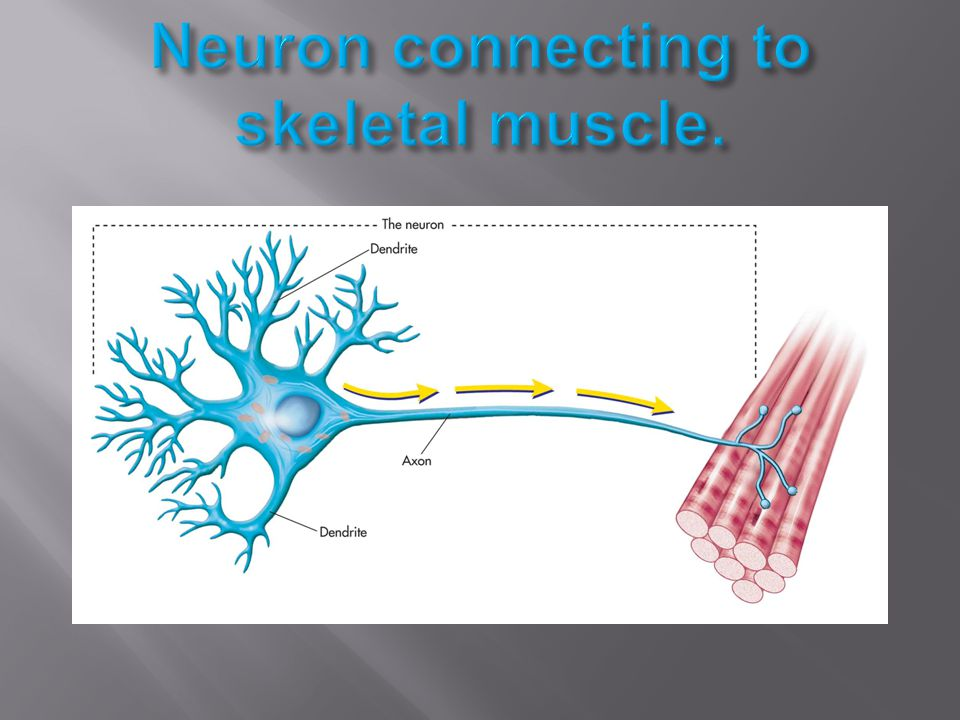 Neuron connecting to skeletal muscle.