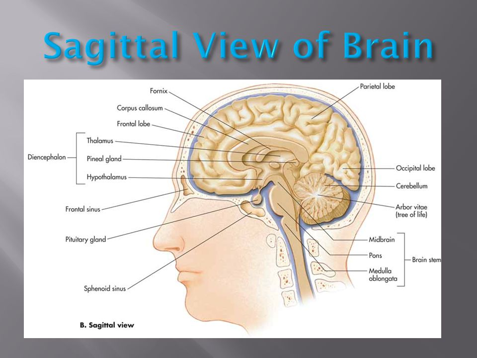 Sagittal View of Brain