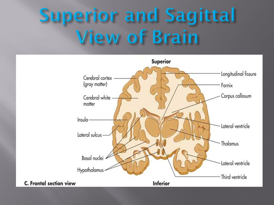 Superior and Sagittal View of Brain