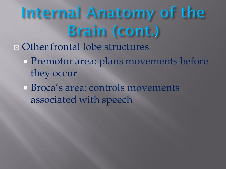 Internal Anatomy of the Brain (cont.)