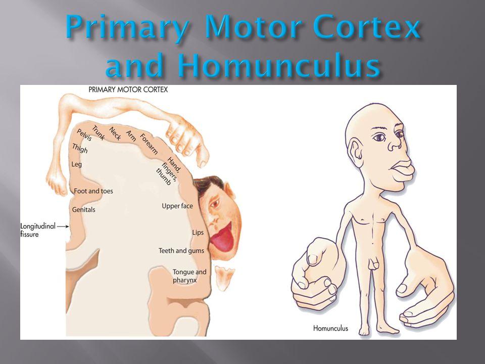 Primary Motor Cortex and Homunculus