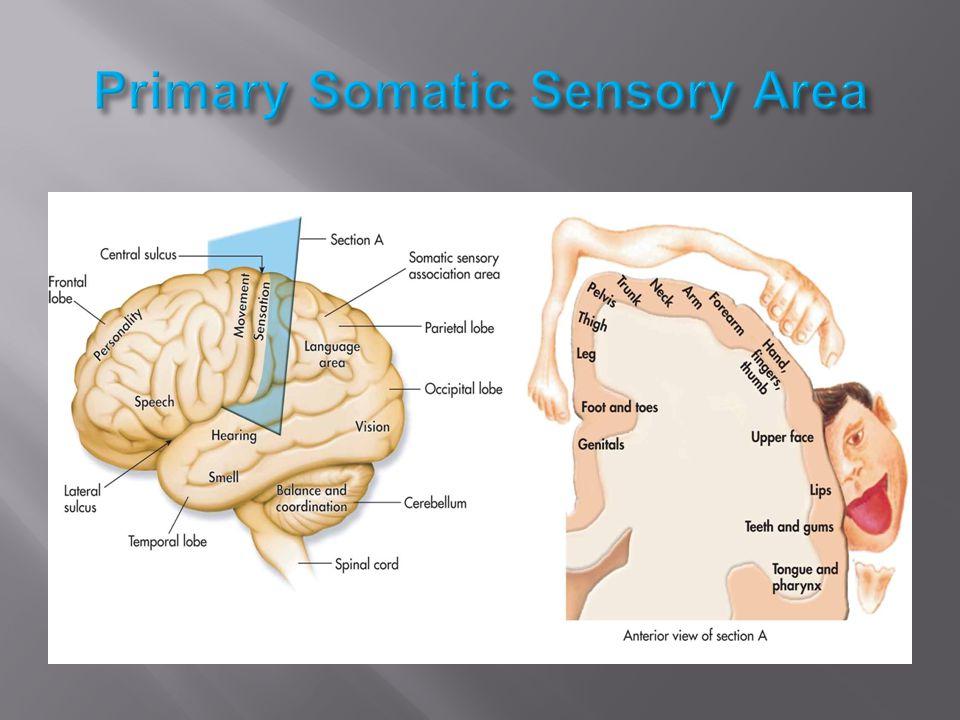 Primary Somatic Sensory Area
