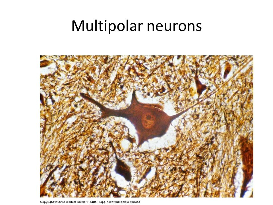 Multipolar neurons