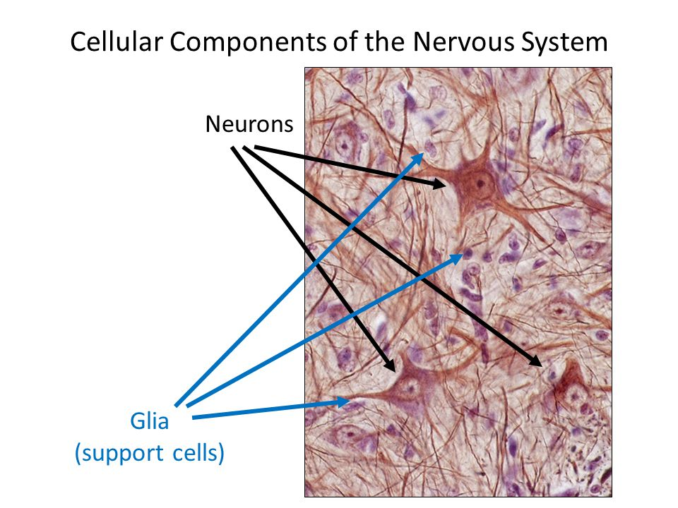 Cellular Components of the Nervous System