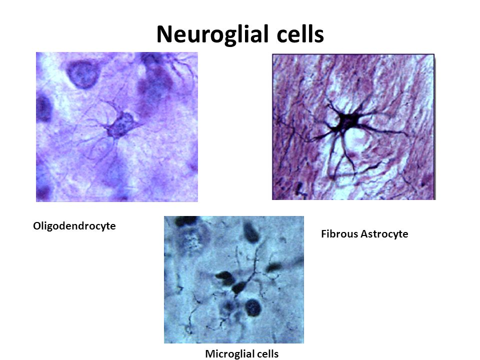 Neuroglial cells Oligodendrocyte Fibrous Astrocyte Microglial cells