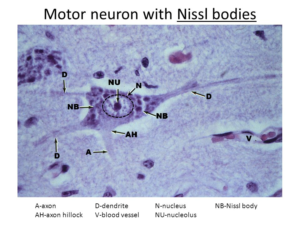 Motor neuron with Nissl bodies