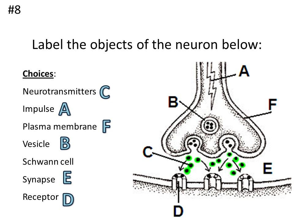 Label the objects of the neuron below: