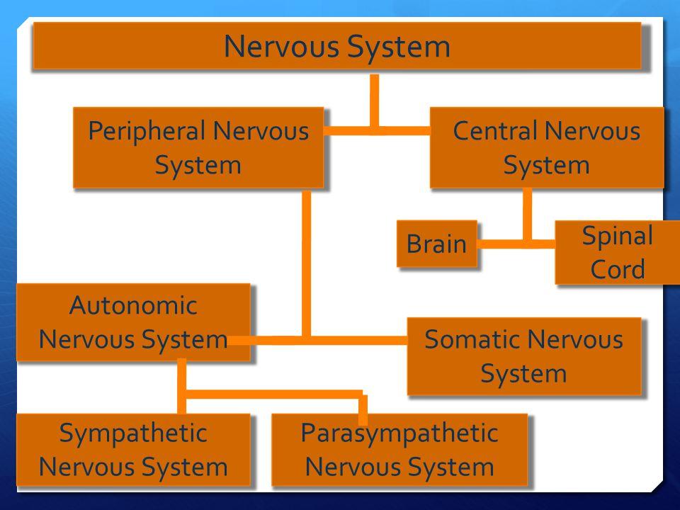 Nervous System Peripheral Nervous System Central Nervous System Brain