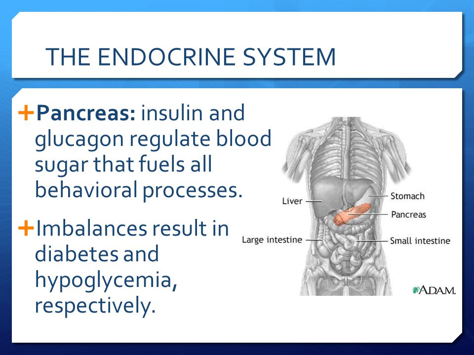 THE ENDOCRINE SYSTEM Pancreas: insulin and glucagon regulate blood sugar that fuels all behavioral processes.