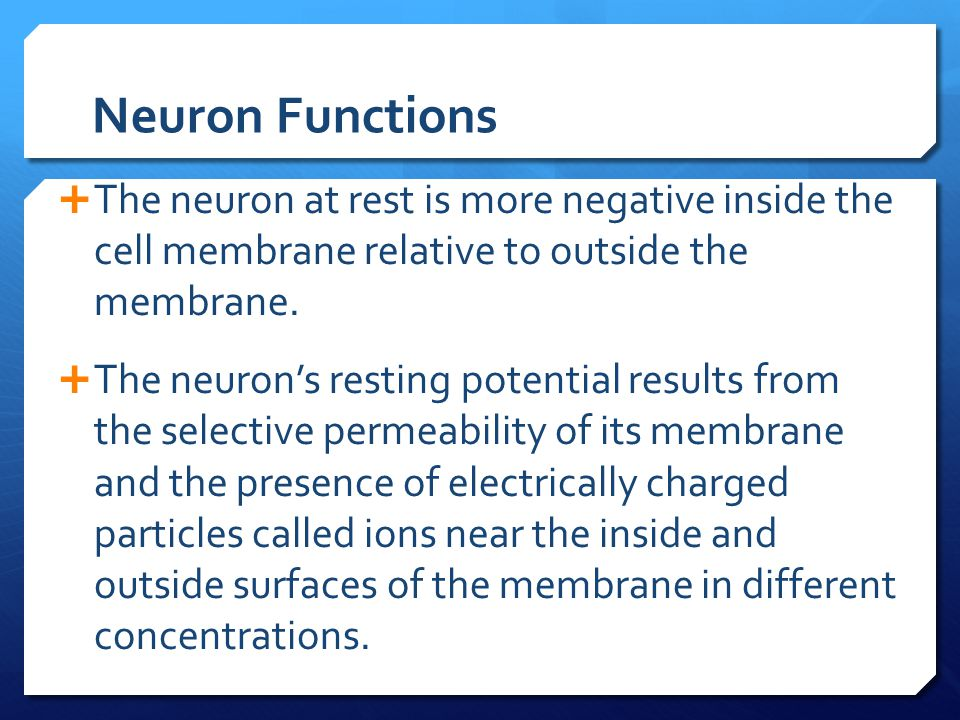Neuron Functions The neuron at rest is more negative inside the cell membrane relative to outside the membrane.