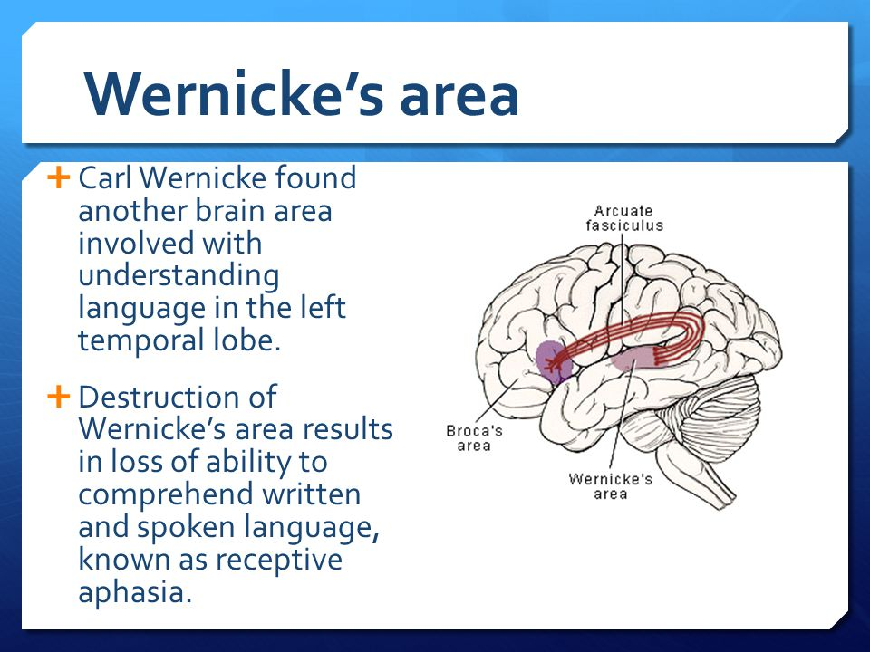 Wernicke's area Carl Wernicke found another brain area involved with understanding language in the left temporal lobe.