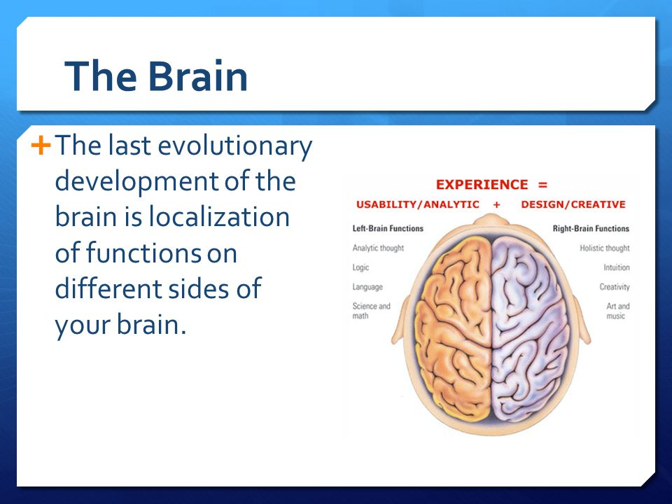 The Brain The last evolutionary development of the brain is localization of functions on different sides of your brain.