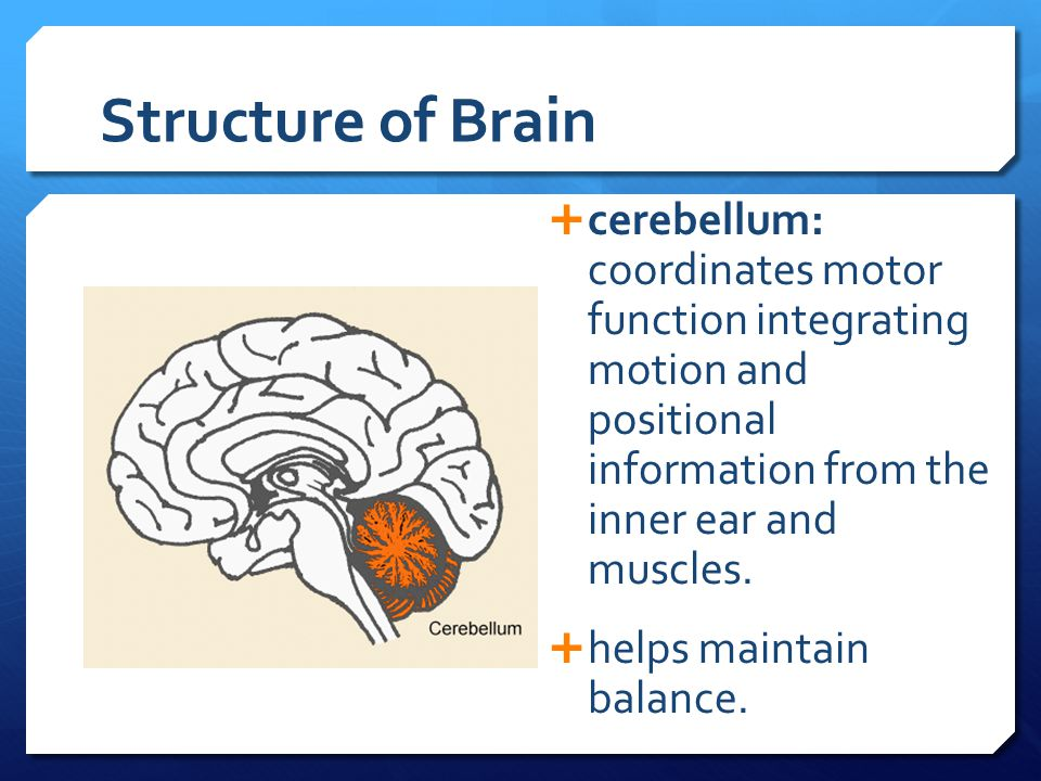 Structure of Brain cerebellum: coordinates motor function integrating motion and positional information from the inner ear and muscles.