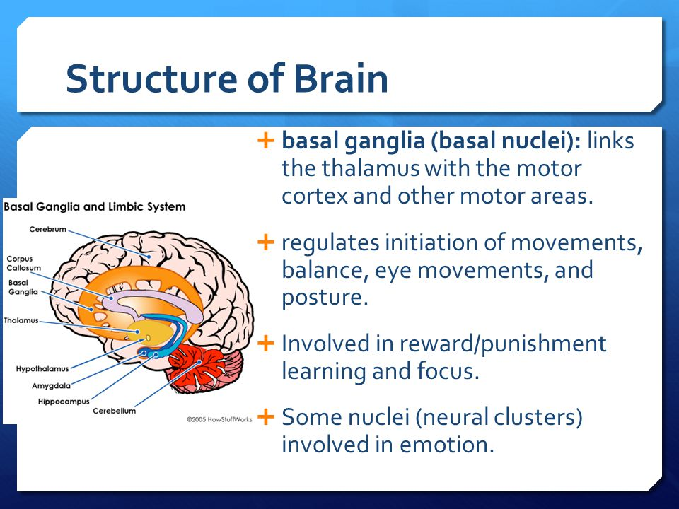 Structure of Brain basal ganglia (basal nuclei): links the thalamus with the motor cortex and other motor areas.