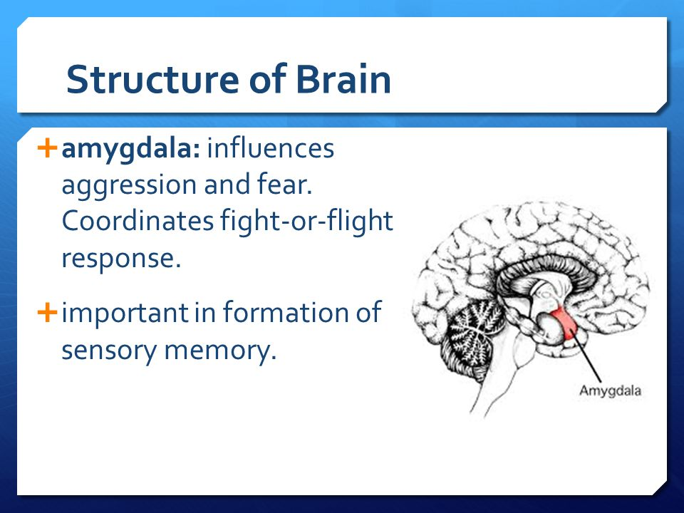 Structure of Brain amygdala: influences aggression and fear. Coordinates fight-or-flight response.