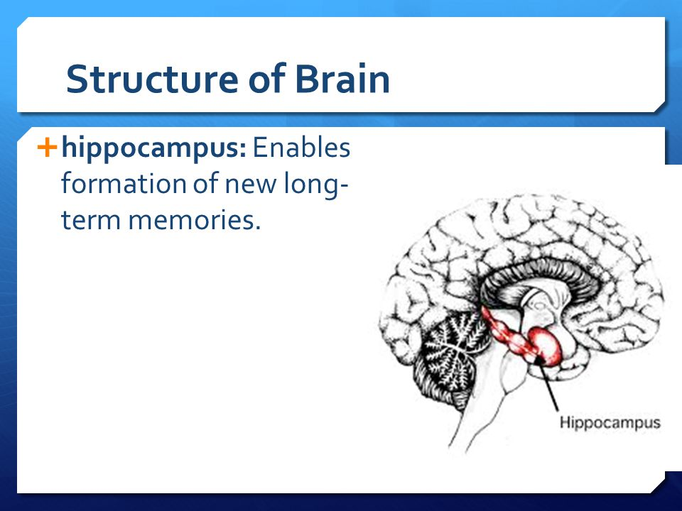 Structure of Brain hippocampus: Enables formation of new long- term memories.