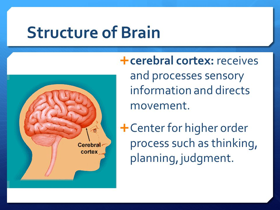 Structure of Brain cerebral cortex: receives and processes sensory information and directs movement.