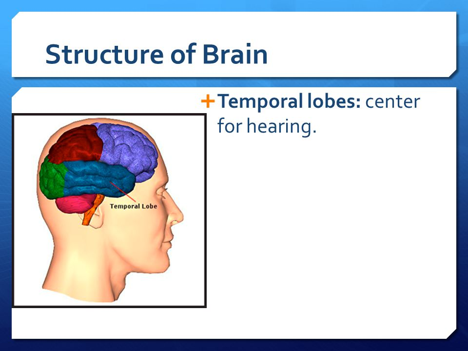 Structure of Brain Temporal lobes: center for hearing.