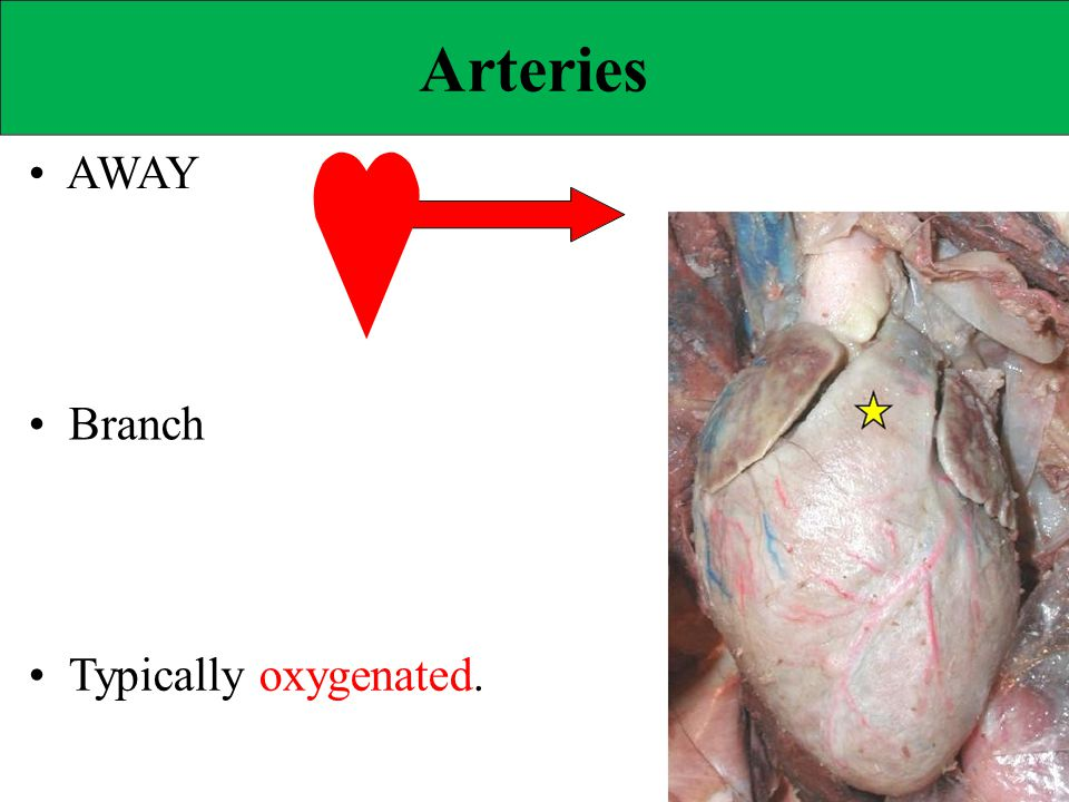 Arteries • AWAY • Branch • Typically oxygenated.
