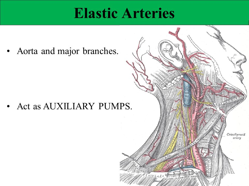 Elastic Arteries • Aorta and major branches. • Act as AUXILIARY PUMPS.