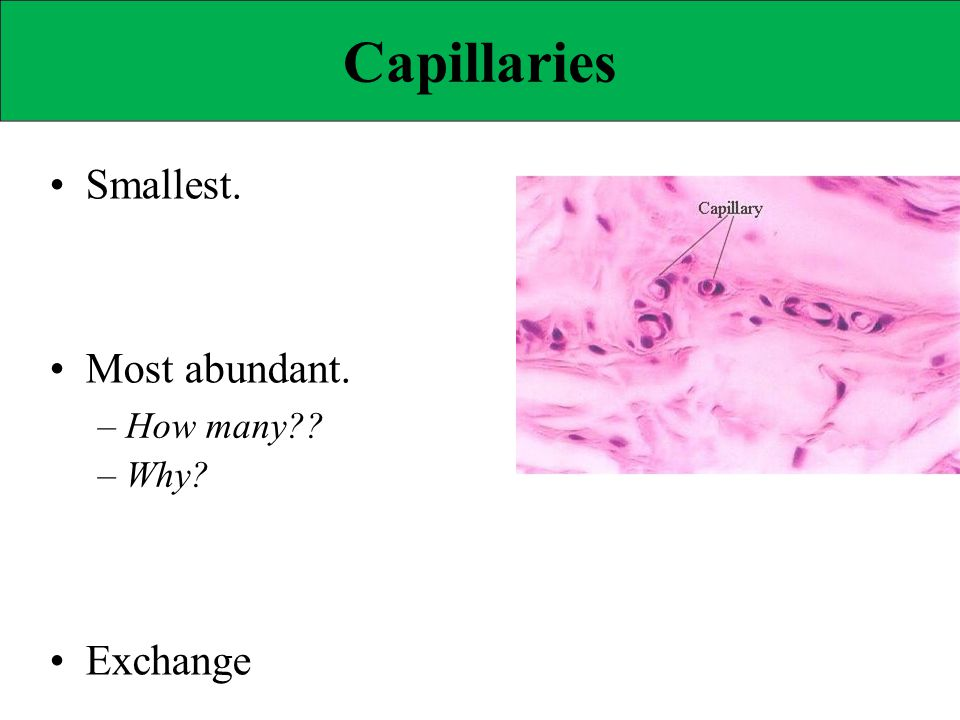 Capillaries • Smallest. • Most abundant. • Exchange – How many