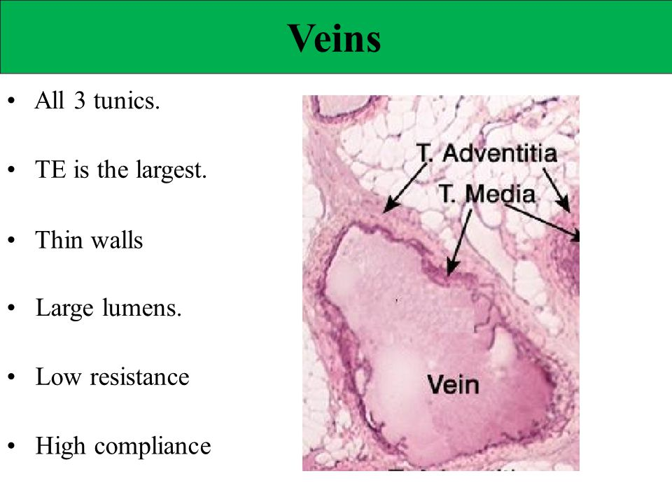 Veins • All 3 tunics. • TE is the largest. • Thin walls