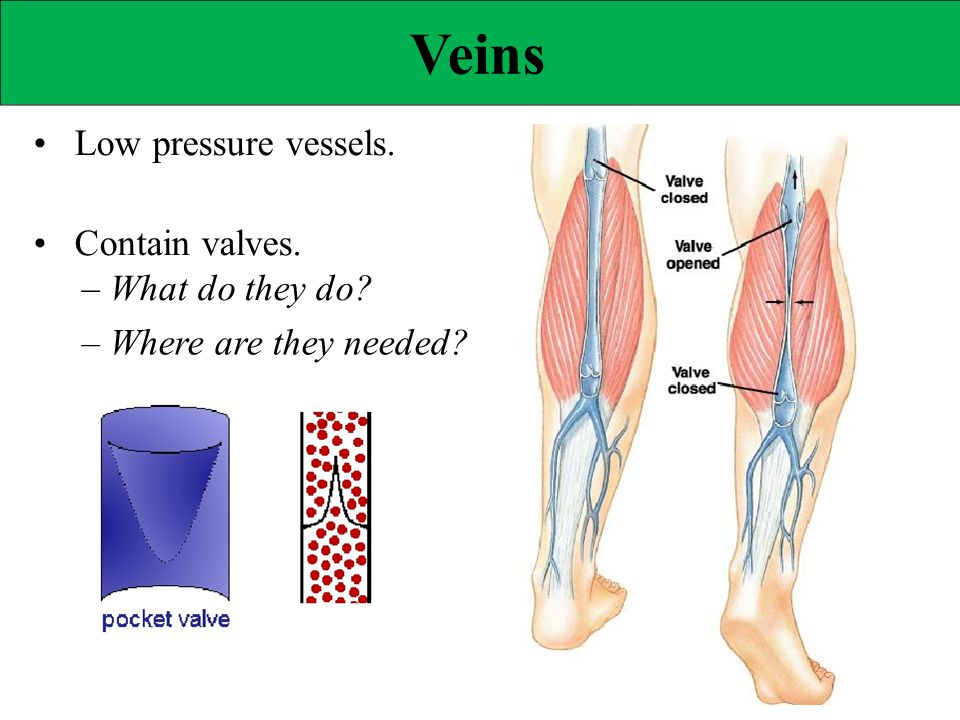 Veins • Low pressure vessels. • Contain valves.