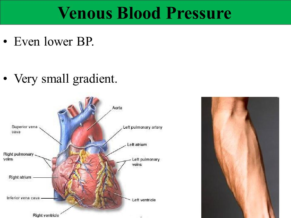 Venous Blood Pressure • Even lower BP. • Very small gradient.