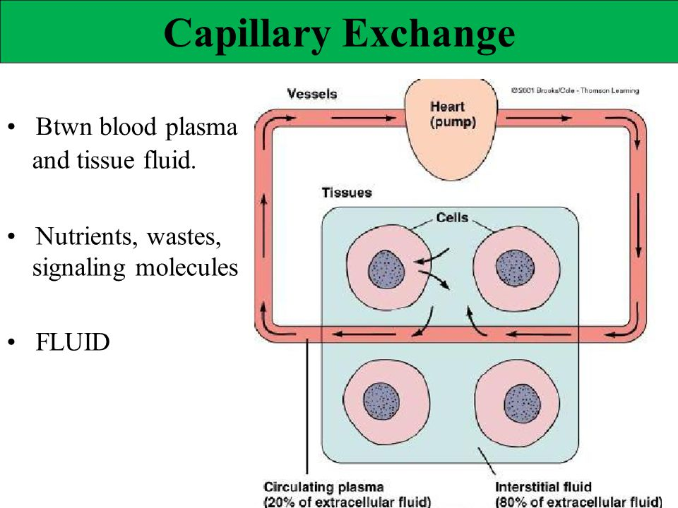 Capillary Exchange • Btwn blood plasma and tissue fluid.
