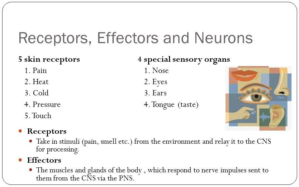 Receptors, Effectors and Neurons