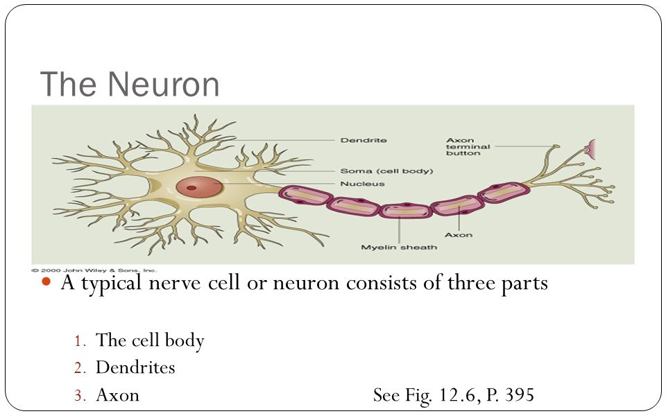 The Neuron A typical nerve cell or neuron consists of three parts