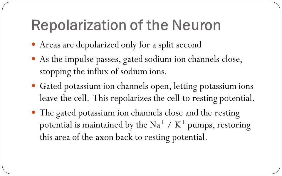Repolarization of the Neuron