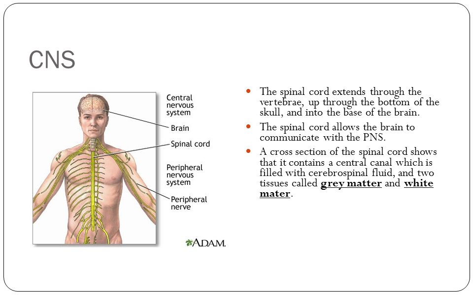 CNS The spinal cord extends through the vertebrae, up through the bottom of the skull, and into the base of the brain.